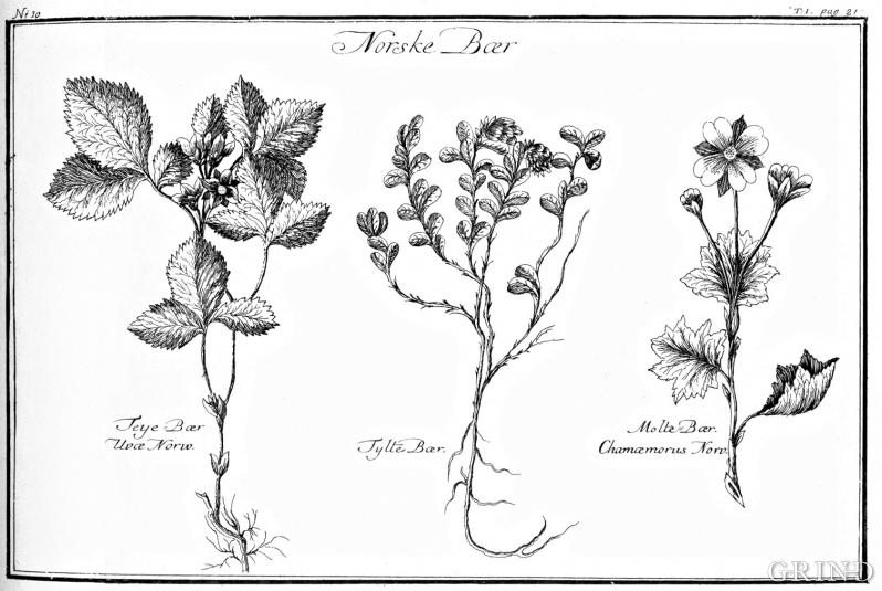 Illustrasjoner, «Norske Bær – Teye Bær, Tytte Bær, Molte Bær»