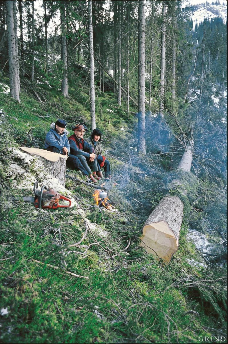En 150 år gammel gran er felt i Vindberglia, Flatlandsmoen på Voss